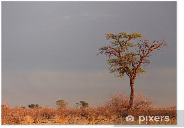 Poster Paysage avec un camelthorn Acacia (Acacia erioloba), désert du Kalahari, Afrique du Sud - Arbres