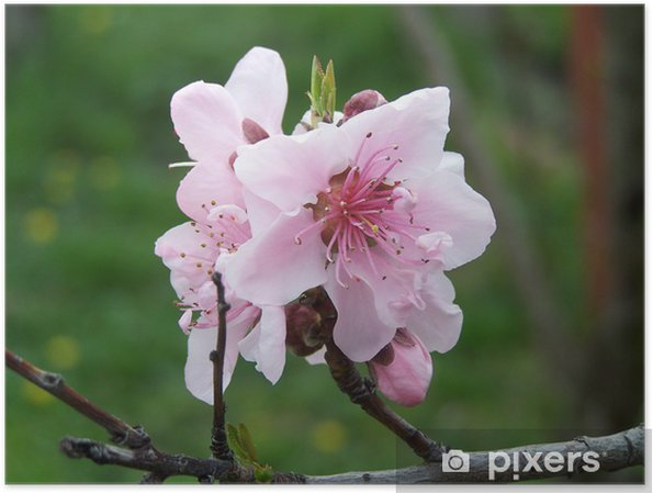 Poster Peach Blossoms - Fleurs