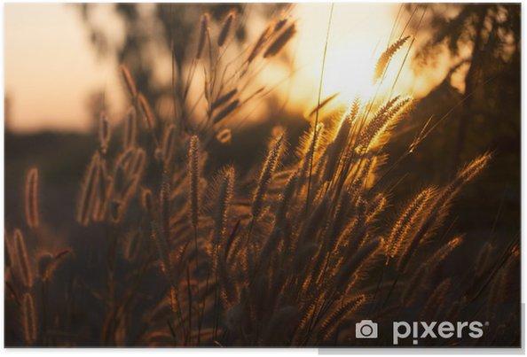 Poster Pennisetum fleur dans le coucher du soleil - Plantes