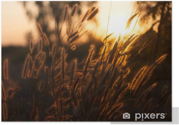 Pennisetum flower in sunset Poster - Plants