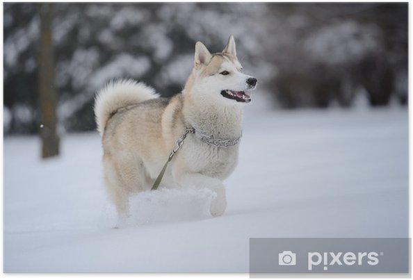 Póster Perro del husky siberiano en la nieve - Mamíferos