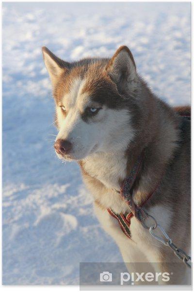 Póster Perro husky siberiano en la nieve - Mamíferos