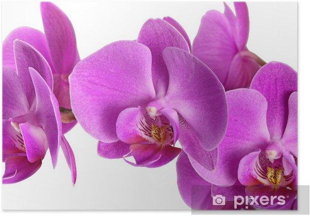 Poster Phalaenopsis hybride Malaienblume - Fleurs