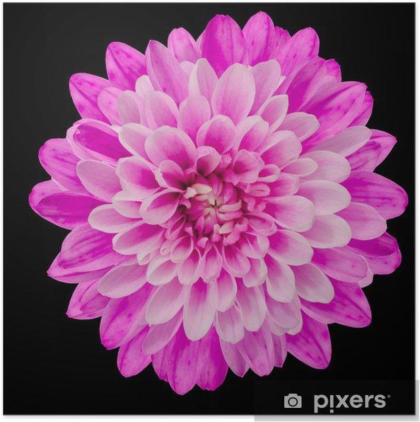 Póster Pink flor del crisantemo aislada en Negro - Flores