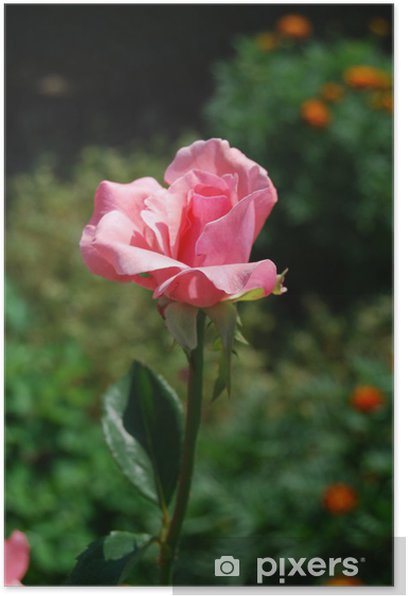Pink rose Poster - Home and Garden