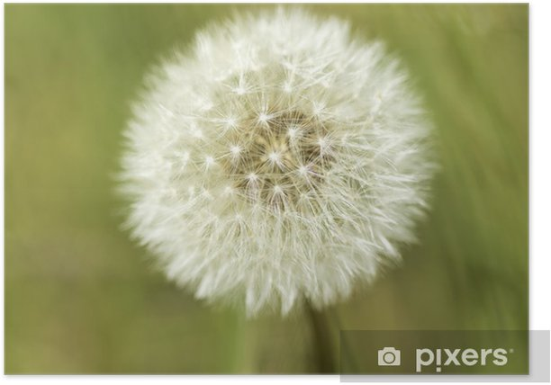 Poster Pissenlit - Fleurs