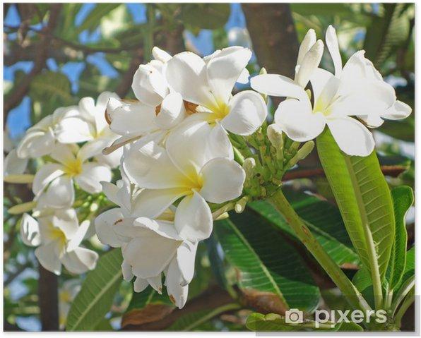 plumeria Poster - Flowers
