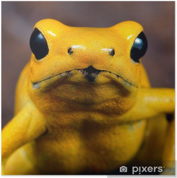 Poster Poison dart frog - Grenouilles