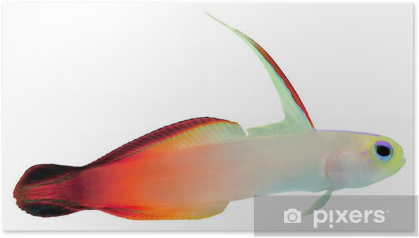 Poster Poissons d'incendie (Magnifique Hover Goby) - Animaux marins
