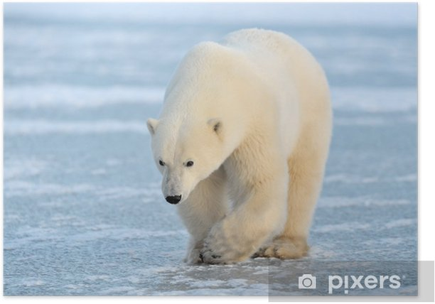 Polar Bear walking on blue ice. Poster - Themes