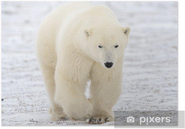 Polar bear walking on tundra. Poster - Themes