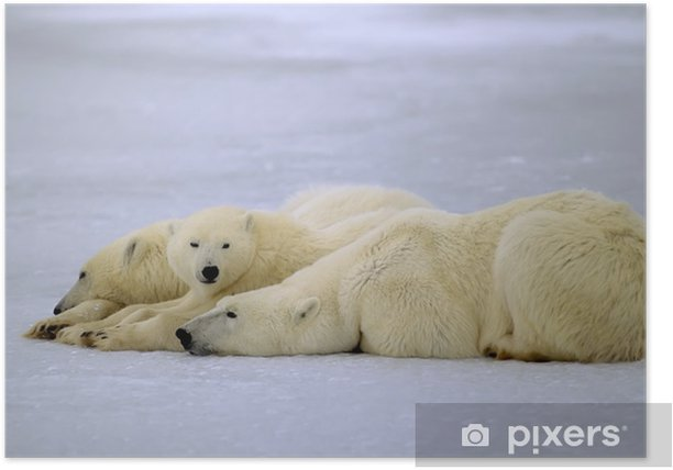 Polar bear with her yearling cubs. Canadian Arctic Poster - Themes