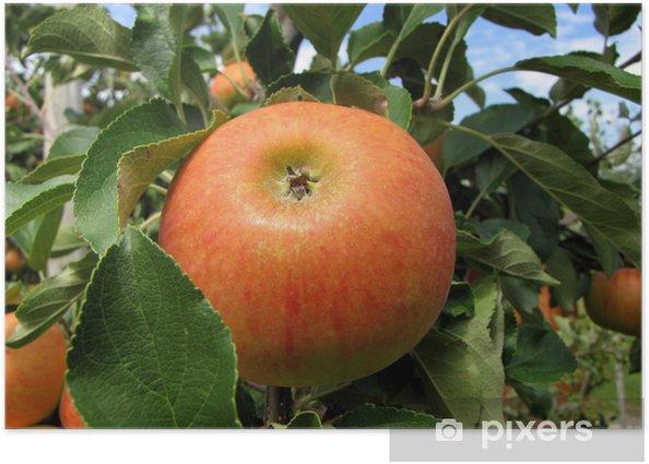 Poster Pomme de reinette et pomme d'api. - Agriculture