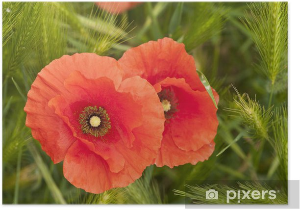 poppies Poster - Themes