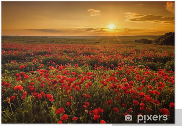 Poppy field at sunset Poster - Meadows, fields and grasses