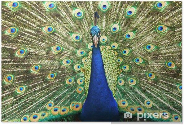 Poster Portrait de beau paon avec des plumes sur - Oiseaux