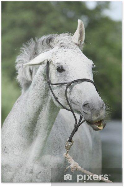 Poster Portrait fou de cheval blanc pur sang anglais - Mammifères