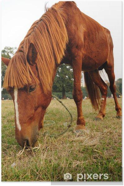 Póster Primer plano de un hermoso caballo comiendo hierba - Mamíferos