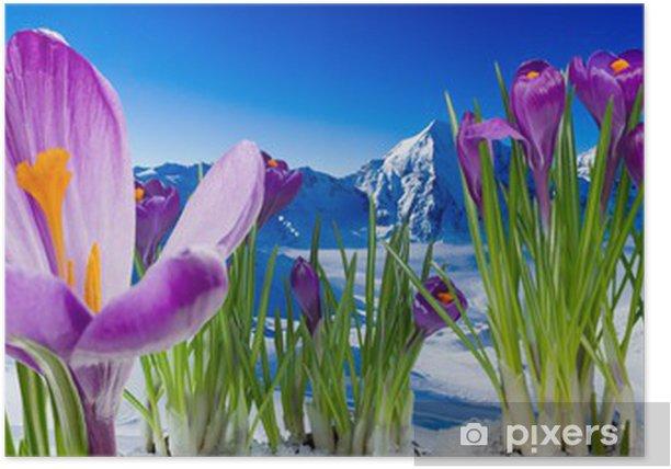 Poster Printemps dans les montagnes - fleurs de crocus dans la neige - Panoramique