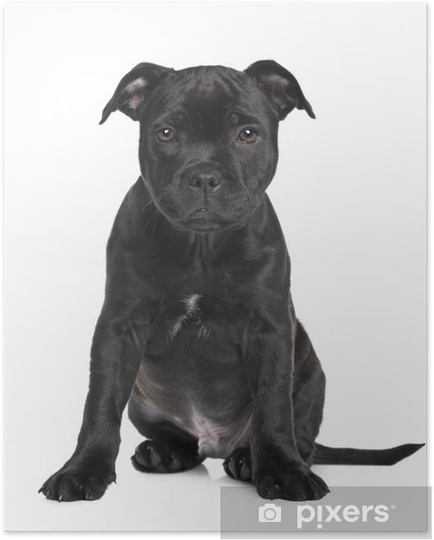 Puppy Staffordshire Bull Terrier 2 Months Poster