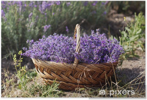 Purple field of lavender flowers Poster