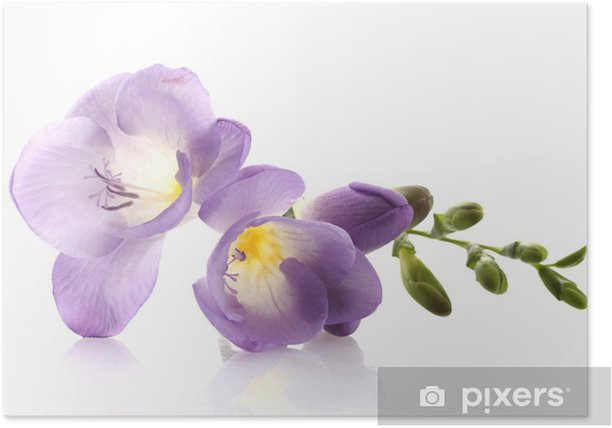 Purple Freesia Flower Isolated On White Poster Pixers We Live