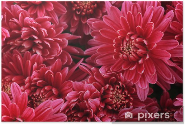 Póster Ramo de rosas rosadas de crisantemo otoño, cerca - Flores