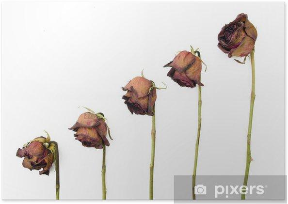 Poster Rangée de 5 roses anciennes rouges séchés sur un fond sombre - Fleurs
