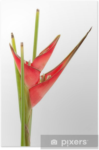 Poster Red Heliconia Flower - Fleurs