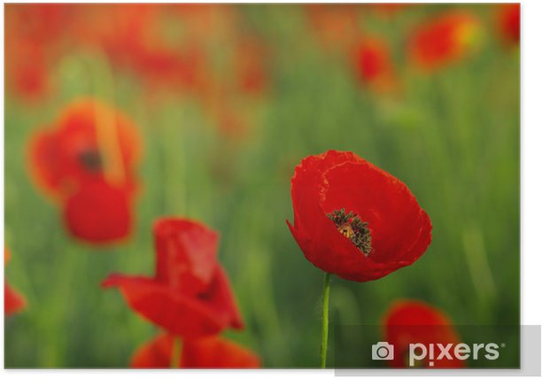 Red poppies on spring meadow Poster - Flowers