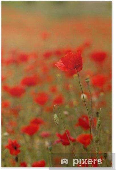 Poster Red poppies - Campagne
