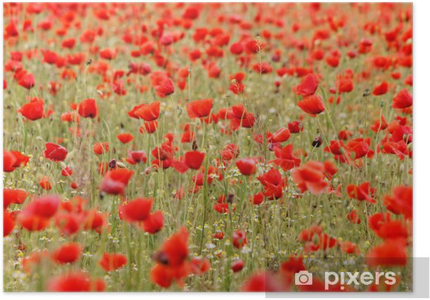 Poster Red poppies - Saisons