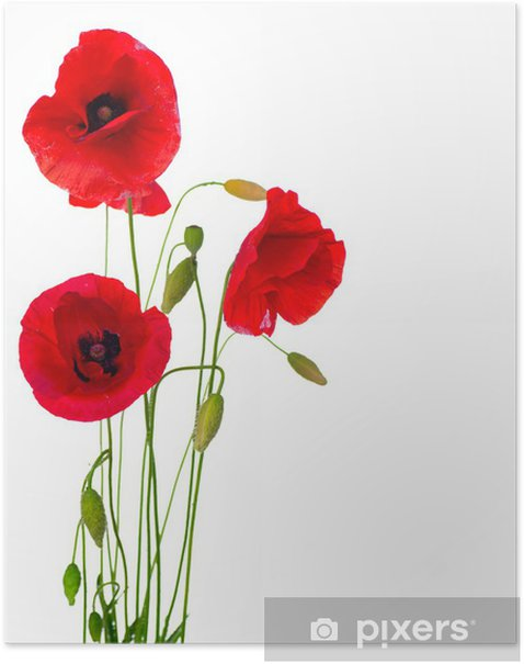 Red Poppy Flower Isolated on a White Background Poster - Destinations