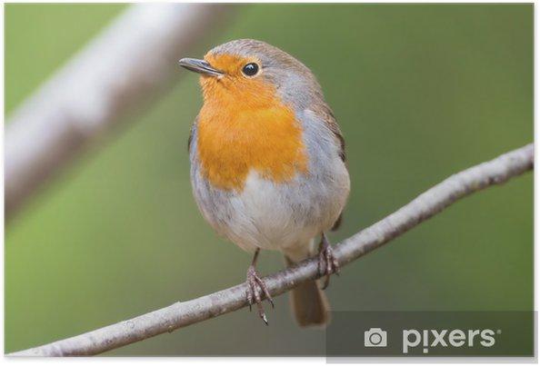 Poster Red Robin sur une branche très proche et détaillée - Oiseaux