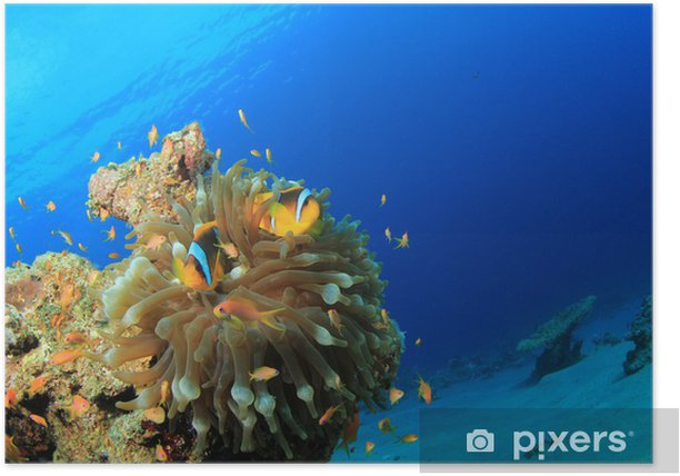 Red Sea Anemonefish in Bubble Anemone Poster - Aquatic and Marine Life