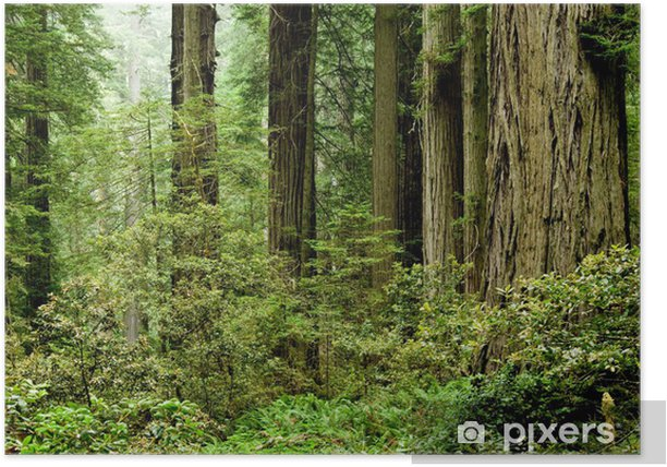 Relict sequoia trees in Redwood National park Poster - America