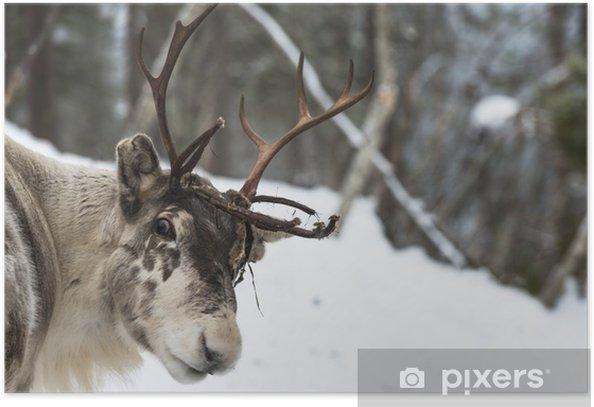 Poster Rendier zich in de sneeuw - Europa