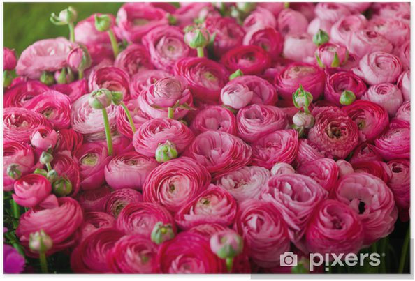 Poster Renoncules # 3 - Fleurs