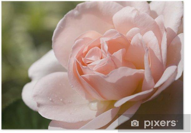 Poster Rose 'Lilian' - Thèmes