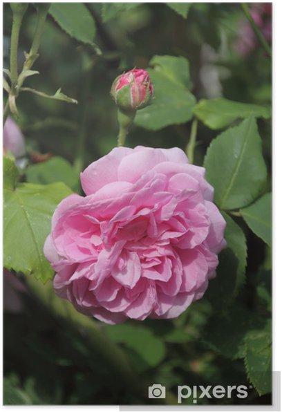Poster Rose Louise Ordier - Fleurs