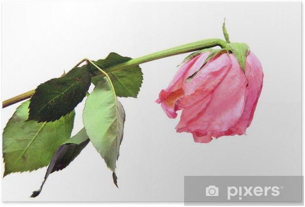 Poster Rose Rose Fanee Sur Blanc Pixers Nous Vivons Pour Changer