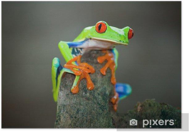 Rotaugenfrosch, Frog, Costa Rica Poster - Frogs