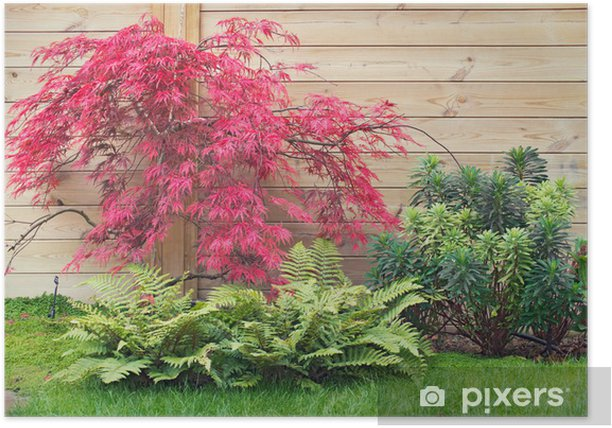 Póster Rouge Erable acer palmatum dissectum en automne - Casa y jardín
