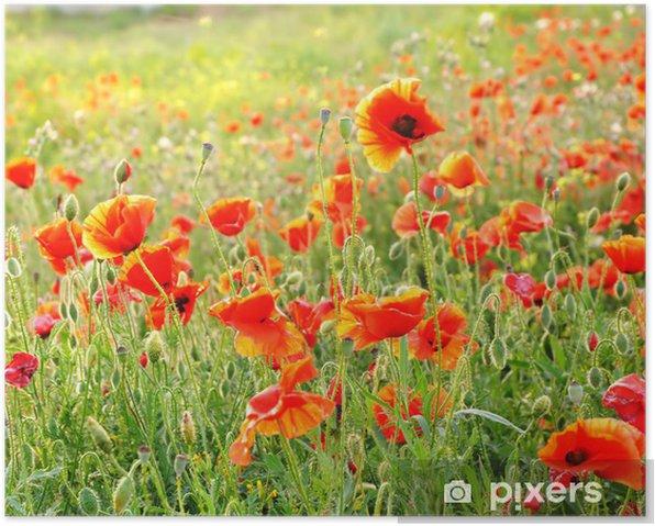 Scarlet field poppies blooming Poster - Seasons