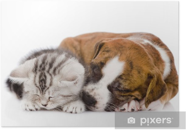 Scottish kitten and puppy sleeping together. isolated on white Poster - Mammals
