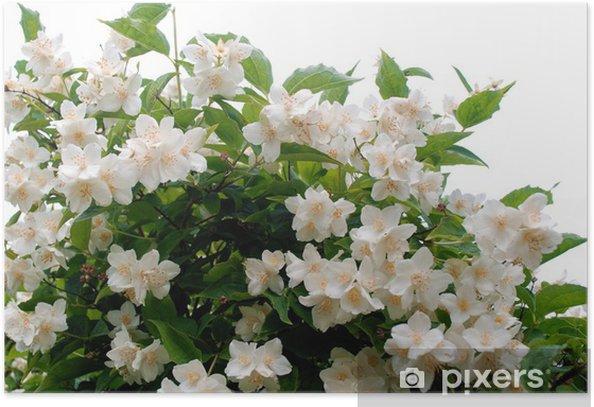 Poster Seringa - Plantes