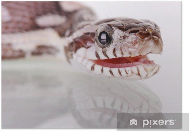Poster Serpent des blés - Autres Autres