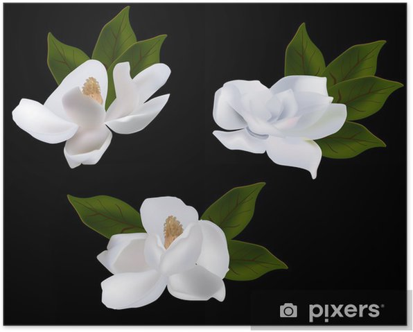 Set Of Magnolia Flowers Isolated On Black Background Poster Pixers