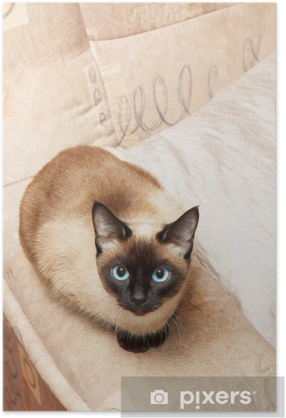 siamese cat, analogous color of background Poster - Mammals