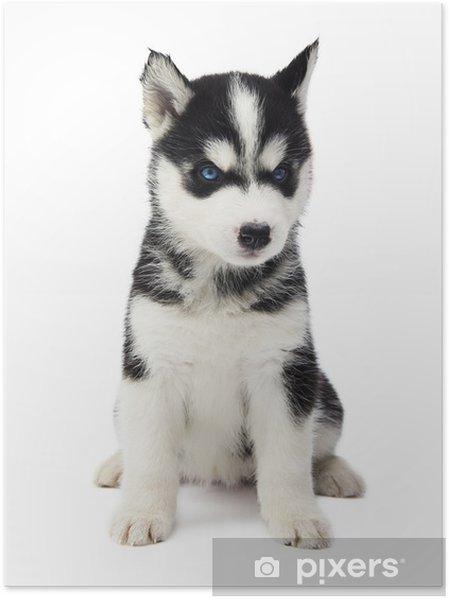 Póster Siberian Husky cachorro • Pixers® - Vivimos para cambiar